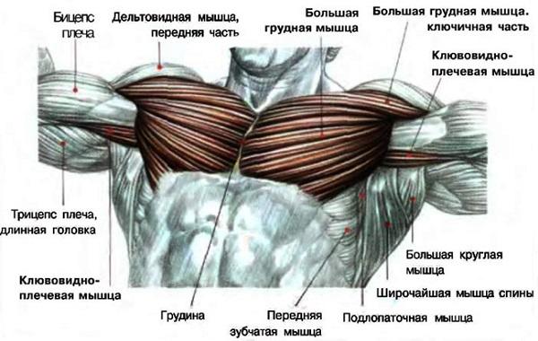 Анатомическая структура грудных мышц