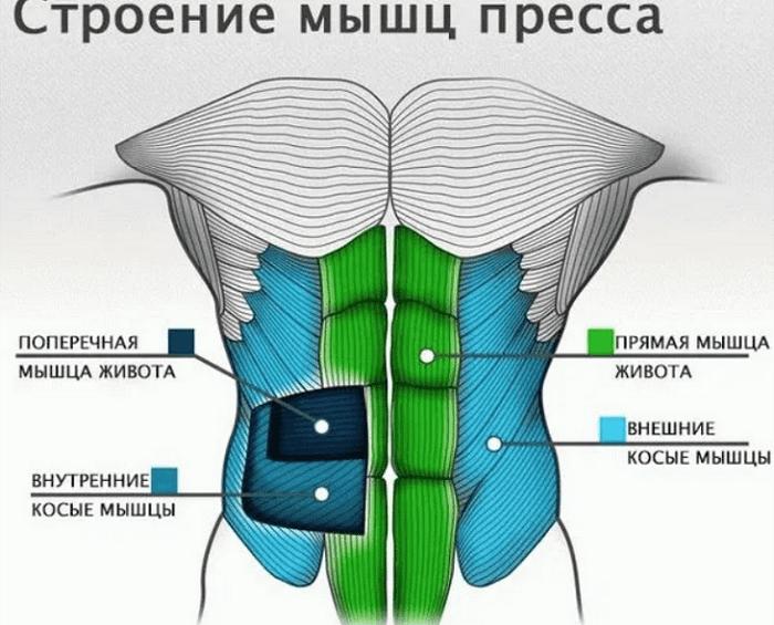 Схема строения мышц брюшного пресса