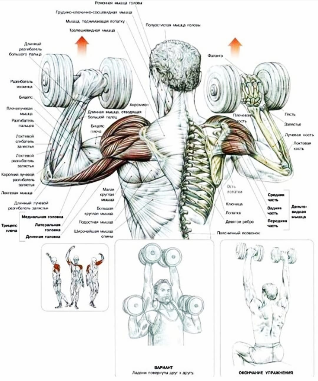Работа мышц в жиме стоя