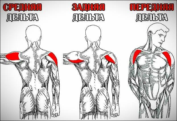 Строение мышц мужского плеча