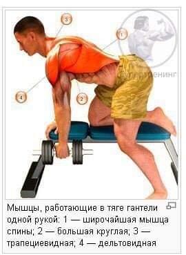 Работа мышц в тяге гантели с опорой на скамью
